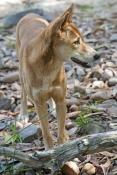 dingo-picture;dingo;canis-lupus-dingo;dingo-standing;territory-wildlife-park;northern-territory;australian-wild-dog;wild-dog;australian-native-dog;native-dog;steven-david-miller