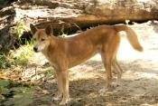 dingo-picture;dingo;canis-lupus-dingo;dingo-standing;territory-wildlife-park;northern-territory;australian-wild-dog;wild-dog;australian-native-dog;native-dog