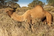 one-humped-camel-picture;one-humped-camel;one-humped-camel;camel;dromedary;camelus-dromedarius;wild-camel;wild-camel-in-australia;wild-australian-camel;camel-in-australia;outback-camels;camels-in-outback;australian-central-desert;uluru-kata-tjuta-national-park;olgas;ayers-rock;northern-territory;steven-david-miller