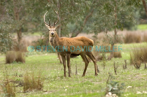 red deer;deer;buck;cervus elaphus;introduced animals;feral animals;grampians;steven david miller
