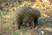 spiny-anteater;monotreme;monotremata;egg-laying-mammal