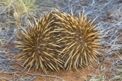 echidna;tachyglossus-aculeatus;short-beaked-echidna;echidna-picture;cape-range-national-park;western-australia-national-park;australian-national-park;australian-monotremes;monotreme;egg-laying-mammal;spiny;spiny-animal;spines