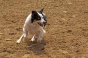 dog;australian-sheepdog;australian-shepherd;australian-sheep-dog;canis-lupus-familiaris;australian-sheepdog-resting;station-dog;steven-david-miller;stockmans-hall-of-fame;rm-williams-show-stockmans-hall-of-fame