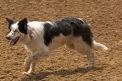 dog;australian-sheepdog;australian-shepherd;australian-sheep-dog;canis-lupus-familiaris;australian-sheepdog-resting;station-dog;stockmans-hall-of-fame;rm-williams-show-stockmans-hall-of-fame