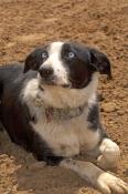 dog;australian-sheepdog;australian-sheep-dog;canis-lupus;australian-sheepdog-resting;station-dog;steven-david-miller