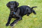 dog;puppy;pet;black-labrador;black-labrador-puppy;black-lab;black-dog;black-puppy;puppy;steven-david-miller