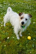 dog;terrier;wire-haired-terrier;terrier-cross;small-dog;white-dog;dog-with-brown-eye-patch;white-dog-with-brown-face;dog-in-grass;dog-on-lawn;dog-with-lemon;dog-looking-at-something;dog-looking-at-plaything;steven-david-miller
