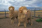 sheep;ram;merino-ram;merion-sheep;merino-wool;sheep-raised-for-wool;merino-sheep-raised-for-wool