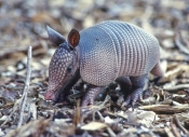 nine-banded-armadillo-picture;nine-banded-armadillo;nine-banded-armadillo;long-nosed-armadillo;long-nosed-armadillo;armadillo;casypus-novemcinctus;southern-united-states-armadillo;texas-armadillo;baby-armadillo;cute-baby-animal;southwest-florida;the-conservancy-naples;steven-david-miller