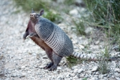 nine-banded-armadillo-picture;nine-banded-armadillo;nine-banded-armadillo;long-nosed-armadillo;long-nosed-armadillo;armadillo;dasypus-novemcinctus;southern-united-states-armadillo;texas-armadillo;south-llano-River-state-park;texas-state-park;small-mammal-of-texas;armadillo-standing-up;standing-armadillo