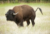 bison;american-bison-picture;american-bison;buffalo;bison-bison;male-bison;adult-bison;bison-with-horns;bison-eating;bison-at-custer-state-park;custer-state-park;south-dakota-state-park;north-american-mammal;large-mammal;bison-bellowing;bison-calling