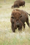 bison;american-bison-picture;american-bison;buffalo;bison-bison;male-bison;adult-bison;bison-with-horns;bison-eating;bison-at-custer-state-park;custer-state-park;south-dakota-state-park;north-american-mammal;large-mammal