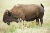 bison;american-bison-picture;american-bison;buffalo;bison-bison;male-bison;adult-bison;bison-with-horns;bison-eating;bison-at-custer-state-park;custer-state-park;south-dakota-state-park;north-american-mammal;large-mammal;bison-swishing-tail