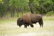 bison;american-bison-picture;american-bison;buffalo;bison-bison;male-bison;adult-bison;bison-with-horns;bison-eating;bison-at-custer-state-park;custer-state-park;south-dakota-state-park;north-american-mammal;large-mammal;male-bison
