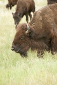 bison;american-bison-picture;american-bison;buffalo;bison-bison;male-bison;adult-bison;bison-with-horns;bison-eating;bison-at-custer-state-park;custer-state-park;south-dakota-state-park;north-american-mammal;large-mammal;bison-eating