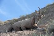 big-horn-sheep;bighorn-sheep-picture;bighorn-sheep-bighorn-sheep-ewe;bighorn-sheep-female;badlands-national-park;national-park;south-dakota-national-park;bighorn-sheep-in-national-park;bighorn-sheep-in-badlands-national-park;bighorn-sheep-ewe;bighorn-sheep-female