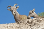 big-horn-sheep;bighorn-sheep-picture;bighorn-sheep-bighorn-sheep-ewe;bighorn-sheep-female;badlands-national-park;national-park;south-dakota-national-park;bighorn-sheep-in-national-park;bighorn-sheep-in-badlands-national-park;bighorn-sheep-ewe;bighorn-sheep-female;bighorn-sheep-female-and-baby;bighorn-sheep-ewe-and-lamb