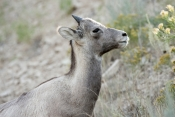 big-horn-sheep;bighorn-sheep-picture;bighorn-sheep-bighorn-sheep-ewe;bighorn-sheep-female;badlands-national-park;national-park;south-dakota-national-park;bighorn-sheep-in-national-park;bighorn-sheep-in-badlands-national-park;bighorn-sheep-juvenile;young-bighorn-sheep;bighorn-sheep-female