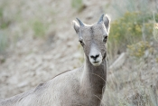 big-horn-sheep;bighorn-sheep-picture;bighorn-sheep-bighorn-sheep-ewe;bighorn-sheep-female;badlands-national-park;national-park;south-dakota-national-park;bighorn-sheep-in-national-park;bighorn-sheep-in-badlands-national-park;bighorn-sheep-juvenile;young-bighorn-sheep;bighorn