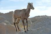 big-horn-sheep;bighorn-sheep-picture;bighorn-sheep-bighorn-sheep-ewe;bighorn-sheep-female;badlands-national-park;national-park;south-dakota-national-park;bighorn-sheep-in-national-park;bighorn-sheep-in-badlands-national-park;juvenile-bighorn-sheep;young-bighorn-sheep