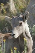 big-horn-sheep;bighorn-sheep-picture;bighorn-sheep-bighorn-sheep-ewe;bighorn-sheep-female;badlands-national-park;national-park;south-dakota-national-park;bighorn-sheep-in-national-park;bighorn-sheep-in-badlands-national-park;bighorn-sheep-juvenile;young-bighorn-sheep