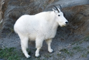 mountain-goat-picture;mountain-goat;rocky-mountain-goat;Oreamnos-americanus;north-american-mountain-goat;mount-rushmore-mountain-goat;black-hills-mountain-goat;custer-state-park-mountain-goat;furry-goat;white-goat;mount-rushmore;mt-rushmore