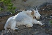 mountain-goat-picture;mountain-goat;rocky-mountain-goat;Oreamnos-americanus;north-american-mountain-goat;mount-rushmore-mountain-goat;black-hills-mountain-goat;custer-state-park-mountain-goat;furry-goat;white-goat;mount-rushmore;mt-rushmore;collared-mountain-goat;mountain-goat-with-tracking-device