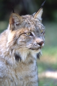 canadian-lynx-picture;canadian-lynx;lynx;head-portrait-of-canadian-lynx;captive-canadian-lynx;threatened-species;threatened-canadian-species;threatened-north-american-species;steven-david-miller