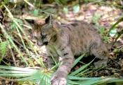 cougar-cub-picture;cougar-cub;puma-cub-picture;puma-cub;mountain-lion-cub-picture;mountain-lion-cub;puma-concolor-cougar;captive-cougar-cub;cougar-cub-looking-into-camera;cute-baby-animal;big-cats;steven-david-miller