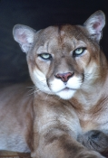 cougar-picture;cougar;puma-picture;puma;mountain-lion-picture;mountain-lion;puma-concolor-cougar;captive-cougar;cougar-looking-into-camera;steven-david-miller