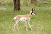 pronghorn-picture;pronghorn;prong-buck;pronghorn-antelope;antilocapra-americana;pronghorn-at-custer-state-park;pronghorn-foraging;male-pronghorn;custer-state-park;south-dakota-state-park;pronghorn-walking