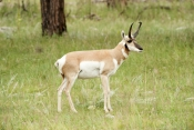 pronghorn-picture;pronghorn;prong-buck;pronghorn-antelope;antilocapra-americana;pronghorn-at-custer-state-park;pronghorn-foraging;male-pronghorn;custer-state-park;south-dakota-state-park;pronghorn-standing