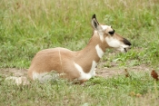 pronghorn-picture;pronghorn;prong-buck;pronghorn-antelope;antilocapra-americana;pronghorn-at-custer-state-park;pronghorn-foraging;young-pronghorn;custer-state-park;south-dakota-state-park;pronghorn-eating;pronghorn-sitting