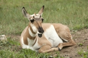 pronghorn-picture;pronghorn;prong-buck;pronghorn-antelope;antilocapra-americana;pronghorn-at-custer-state-park;pronghorn-foraging;female-pronghorn;custer-state-park;south-dakota-state-park;pronghorn-eating;pronghorn-sitting