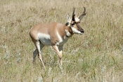 pronghorn-picture;pronghorn;prong-buck;pronghorn-antelope;antilocapra-americana;pronghorn-at-custer-state-park;pronghorn-foraging;male-pronghorn;custer-state-park;south-dakota-state-park