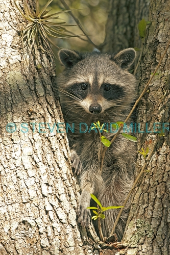 raccoon picture;southern raccoon;raccoon;procyon lotor;raccoon in tree;raccoon looking at camera;raccoon eye contact;eye contact;cute raccoon picture;curious;attentive;paying attention;southwest florida;florida;florida mammals;smaller raccoon race;steven david miller