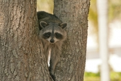 raccoon-picture;southern-raccoon;raccoon;procyon-lotor;raccoon-in-tree;raccoon-looking-at-camera;raccoon-eye-contact;eye-contact;cute-raccoon-picture;curious;attentive;paying-attention;southwest-florida;florida;florida-mammals;smaller-raccoon-race;steven-david-miller