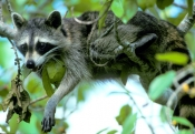 raccoon-picture;southern-raccoon;raccoon;procyon-lotor;raccoon-panting;raccoon-drooling;raccoon-in-tree;cute-raccoon-picture;ding-darling-national-wildlife-refuge;sanibel-island