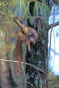 eastern-fox-squirrel-picture;eastern-fox-squirrel;fox-squirrel;squirrel;scirus-niger;bryants-fox-squirrel;bryants-fox-squirrel;tree-squirrel;naples;florida-squirrel