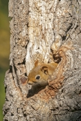 fox-squirrel-picture;fox-squirrel;western-fox-squirrel;squirrel;squirrel-with-acorn;custer-state-park;south-dakota-state-park;custer-state-park-squirrel;squirrel-gathering-acorns;squirrel-with-acorn-in-mouth;