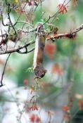 eastern-gray-squirrel-picture;gray-squirrel;grey-squirrel;squirrel;Sciurus-carolinensis;corkscrew-swamp-sanctuary;southwest-florida;squirrel-eating