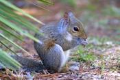 gray-squirrel-picture;gray-squirrel;eastern-gray-squirrel;grey-squirrel;sciurus-carolinensis;squirrel;squirrel-eating;palmetto-scrubland;pine-scrubland;corkscrew-swamp-sanctuary;cute-furry-animal;cute-little-animal;furry-animal