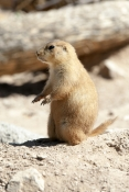 prairie-dog-picture;prairie-dog;black-tailed-prairie-dog;black-tailed-prairie-dog;blacktail-prairie-dog;prairie-dog-town;town-of-prairie-dogs;arizona-sonora-desert-museum;tucson-desert-museum