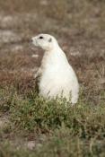 prairie-dog-picture;prairie-dog;black-tailed-prairie-dog;black-tailed-prairie-dog;blacktail-prairie-dog;prairie-dog-town;town-of-prairie-dogs;badlands-national-park;national-park;south-dakota-national-park