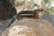 harris-antelope-squirrel;harris-antelope-squirrel;antelope-squirrel;squirrel;ground-squirrel;cute-little-animal;family-sciuridae;arizona-sonora-desert-museum;desert-squirrel
