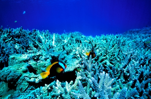 black anemonefish;anemonefish picture;anemonefish;anemone fish;amphiprion melanopus;lady musgrave island;great barrier reef;capricorn bunker section;clownfish;clown fish