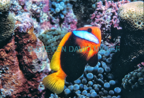 black anemonefish;anemonefish picture;anemonefish;anemone fish;amphiprion melanopus;lady elliot island;great barrier reef;capricorn bunker section;clownfish;clown fish