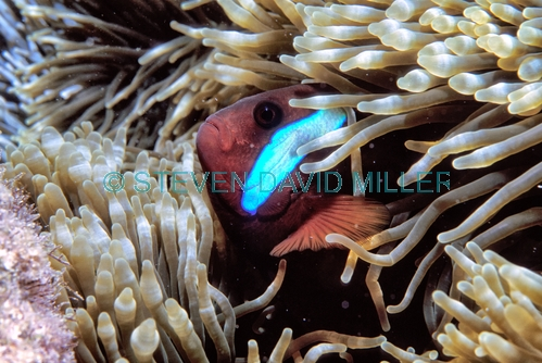 black anemonefish;anemonefish picture;anemonefish;anemone fish;amphiprion melanopus;wilson island;great barrier reef;capricorn bunker section;clownfish;clown fish