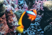 black-anemonefish;anemonefish-picture;anemonefish;anemone-fish;amphiprion-melanopus;lady-elliot-island;great-barrier-reef;capricorn-bunker-section;clownfish;clown-fish