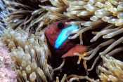 black-anemonefish;anemonefish-picture;anemonefish;anemone-fish;amphiprion-melanopus;wilson-island;great-barrier-reef;capricorn-bunker-section;clownfish;clown-fish